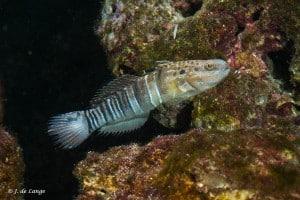 Amblygobius