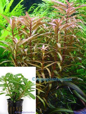 Ammannia senegalensis - Cognacplant