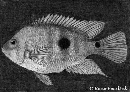 Amphilophus globosus