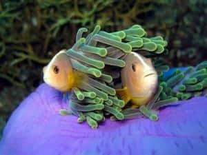 Amphiprion akallopisos