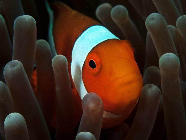 Amphiprion ocellaris - Driebands Anemoonvis