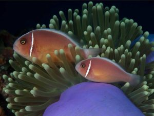Amphiprion perideraion - Foute Halsband Anemoonvis