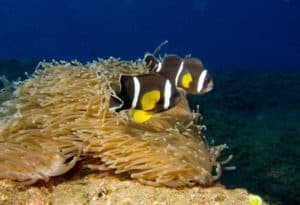 Amphiprion chrysogaster - boven Stichodactyla mertensii