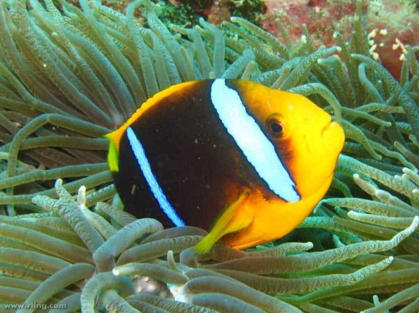 Amphiprion chrysopterus - Oranjevin Anemoonvis