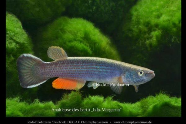 Anablepsoides hartii - Giant Rivulus