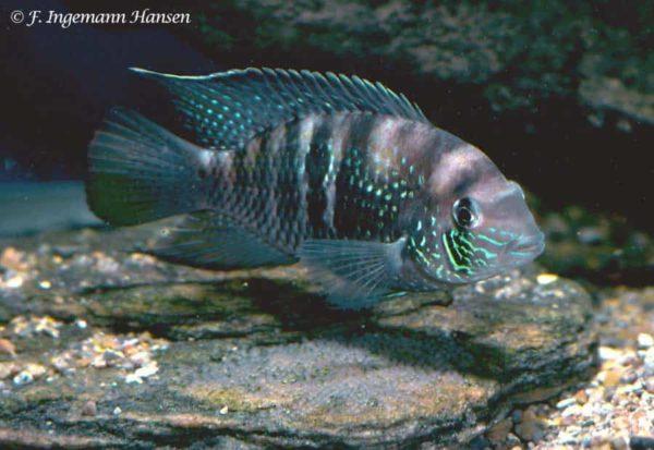 Andinoacara sapayensis