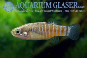 Aphanius farsicus - Man