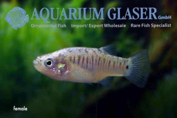 Aphanius farsicus - Vrouw