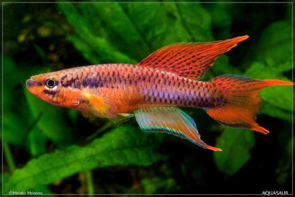 Aphyosemion bitaeniatum - Lagos Rouge - Man