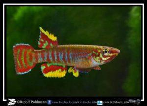 Aphyosemion exiguum - Juweel Killi