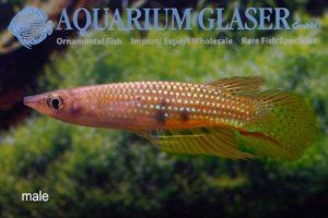 Aplocheilus dayi