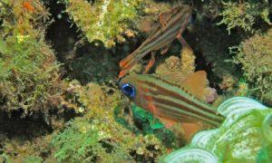 Ostorhinchus compressus - Gestreepte Kardinaalsvis