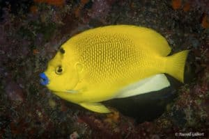 Apolemichthys