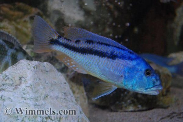 Aristochromis christyi - Man