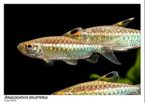 Arnoldichthys spilopterus