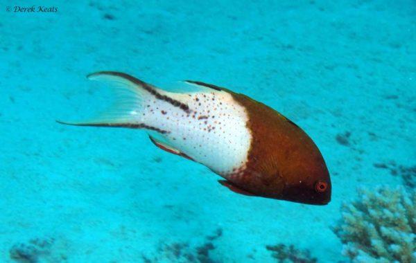 Bodianus anthioides - Lierstaartlipvis