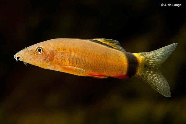 Yasuhikotakia morleti - Muisbotia