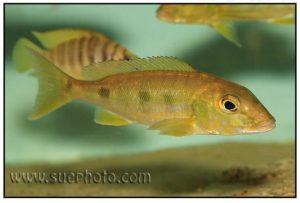 Boulengerochromis microlepis