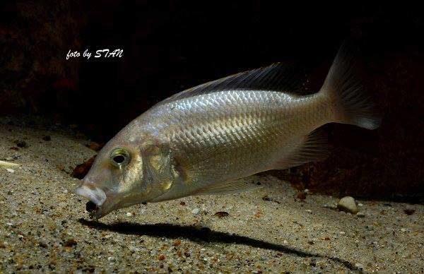 Buccochromis atritaeniatus
