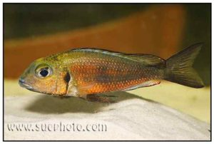Callochromis macrops - Nodle Red