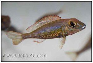 Callochromis pleurospilus