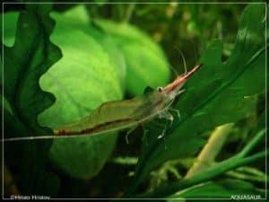 Caridina gracilirostris - Pinokkio garnaal