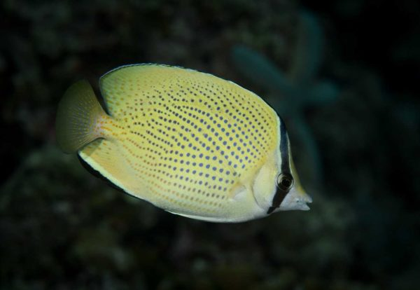 Chaetodon citrinellus
