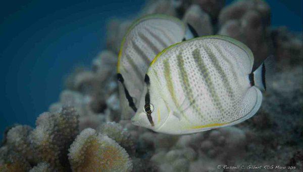 Chaetodon multicinctus met hun favoriete voer: Pocillopora - Bloemkool koraal