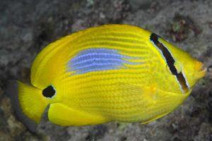 Chaetodon plebeius - Blauwvlek Koraalvlinder