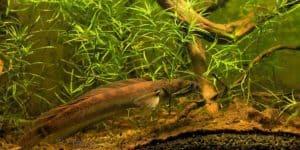 Channa baramensis - Barama slangekopvis