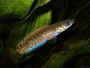Channa bleheri - Regenboog Slangekopvis