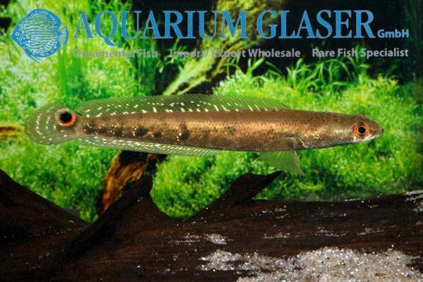 Channa marulioides - Keizer Slangekopvis