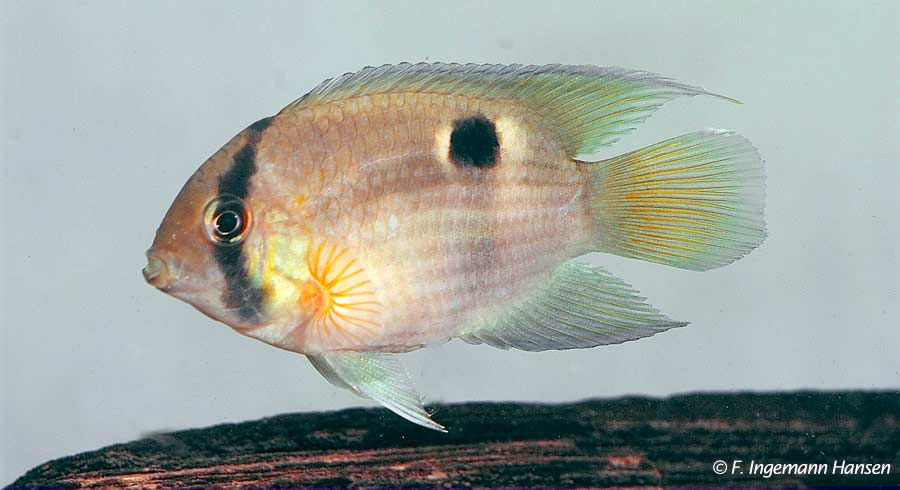 Cleithracara maronii - Sleutelgatcichlide