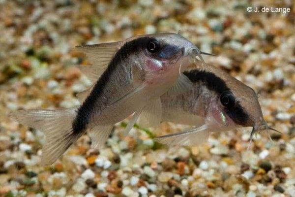 Corydoras arcuatus - Stroomlijnpantsermeerval
