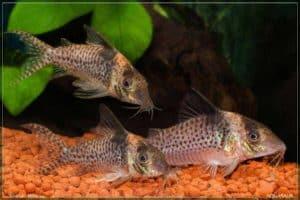 Corydoras delphax