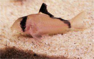 Corydoras metae - Bandiet Corydoras