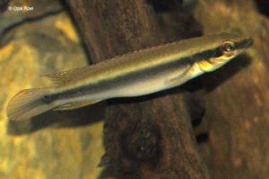 Crenicichla notophthalmus