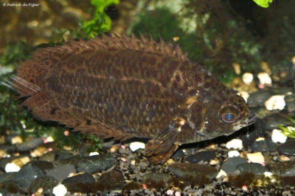 Ctenopoma acutirostre - Luipaardklimbaars