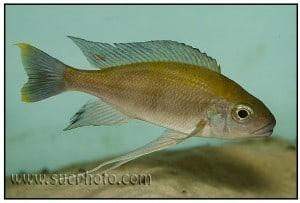 Cunningtonia longiventralis - Cape Kachese