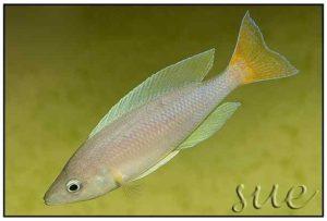 Cyprichromis coloratus - Mbita Island: