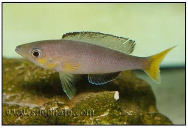 Cyprichromis leptosoma - Kamakonde