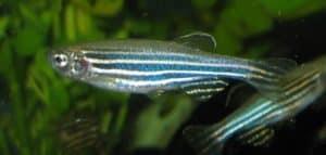 Danio rerio - Zebrabarbeel