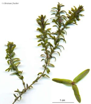 Elodea canadensis - Brede Waterpest