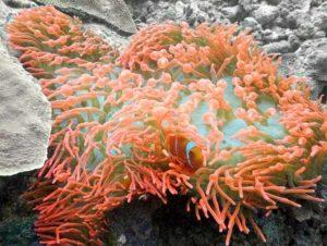 Entacmaea quadricolor - Tepelanemoon - Rood