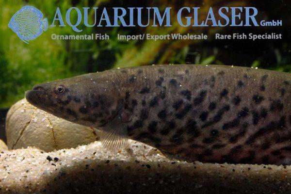 Gymnotus carapo - Vrouw - Close up