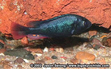 Kweken met Haplochromis nubilus