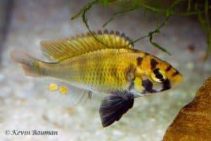 Haplochromis paropius - Man