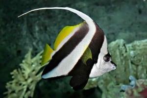 Wimpelvissen