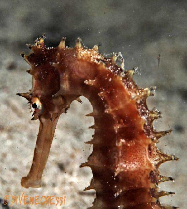 Hippocampus hystrix