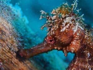 Hippocampus moluccensis